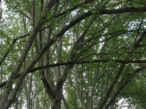 Natural Canopy in Queen Victoria Gardens
